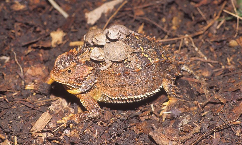 Greater Short Horned Lizard Noah Whetstone